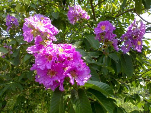 Lagerstroemia speciosa flos reginae Tree 20-500 Seeds Queens Crape Myrtle Herb