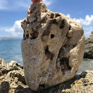 LARGE-LOADED-PUDDING-PUDDIN-039-STONE-Caribbean-Surf-Tumbled-Fossilized-Conch