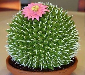 US-100Pcs-Rare-African-Cactus-Seeds-Mixed-Succulent-tree-Plant