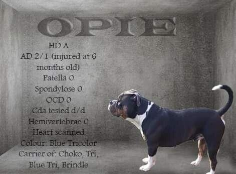 House of monsters big fat Opie tilbydes til avl...