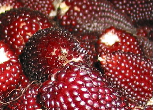 VEGETABLE  RED POPPING CORN STRAWBERRY 80 SEEDS