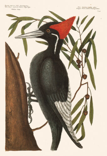 Antique Bird Poster ANTIQUE WOODPECKER PRINT Vintage Ornithology Print Profe