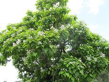 Trompetenbaum - 20 Samen - Catalpa Bignonioides Trompeten Baum
