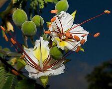 Weißer Flammenbaum • 5 Samen/seeds • Delonix decaryi •White Poinciana•Flamboyant