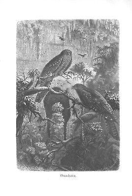 steatornis Caripensis Guacharo Schwalm Vogel Holzstich 1891 With The Best Service Honey Fettschwalm