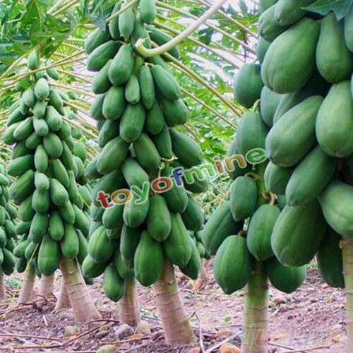 8Pcs Home Garden Maradol Papaya Seeds Vegetable Fruit Tree Plants Seeds Outdoor