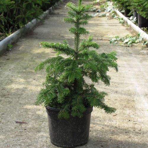 Christmas Conifer Tree in a 13 cm Rigid Pot. White Spruce Picea glauca
