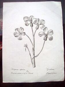 1824-BOTANICA-INCISIONE-CON-FIORE-HESPERIS-APRICA-JULIANA-DEL-SENESE-FELICIATI