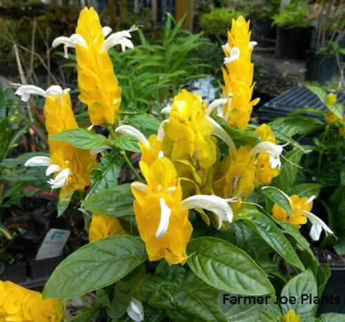 """PACHYSTACHYS LUTEA GOLDEN SHRIMP PLANT 6/""""  POT 1 LIVE PLANT"""
