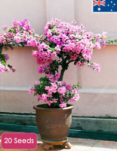 Bougainvillea-Spectabilis-Tree-Plant-20-Seeds-Indoor-House-Plants-Outdoor-RARE