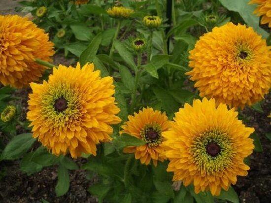 "Rudbeckia Maya Rudbeckia Seeds 50 Flower Seeds ""Perennial"" Double Flower"
