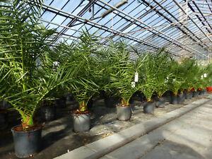 Palme 120-140cm, kanarische Dattelpalme