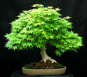 10 Green Japanese Maple Acer Palmatum Seeds Bonsai Maple Tree