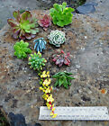 Succulent Starter Pack # 2 10 colourful hardy cuttings for beginners ALL NAMED