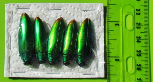 Lot of 50 Iridescent Jewel Beetle Chrysochroa fulminans fulminans FAST FROM USA