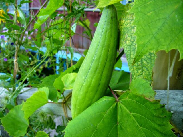 20Pcs Luffa Plant Seeds Loofah Vegetable Filter Sponge Washcloth Home Garden