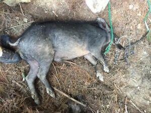 160 hog foot snare hog trap handmade ebay