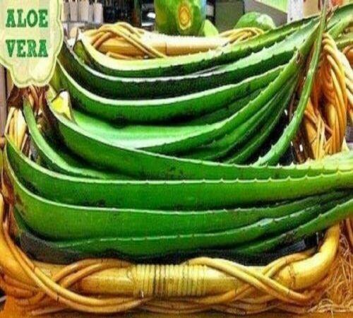 2-10 X Aloe Vera Leaf 40-45 cm Organic Leaves Plant Gel UK