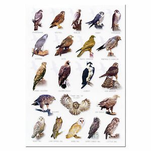 British Birds Of Prey A5 Identification Card Chart Postcard Ebay