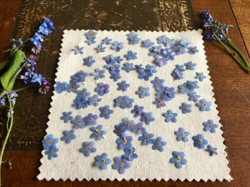Very High Quality Pressed Dried British Forget Me Not Myosotis Flower 20pcs