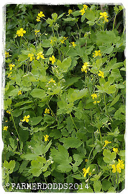 Chelidonium majus 'Greater Celandine' [Ex. Somerset, UK] 100+ SEEDS