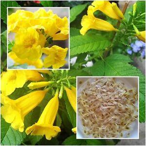 Tecoma Stans 40 Seeds Yellow Bells Esperanza Flower Trumpetbush