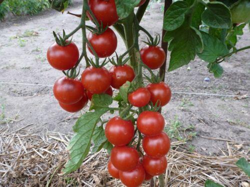 Stück Samen aus Eigenanbau 10 Schwarz-Rote Tomaten,Große Cocktailtomaten