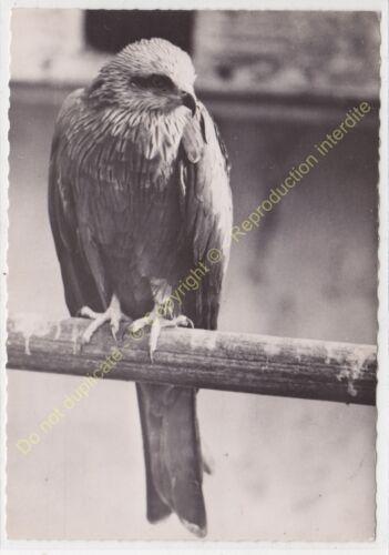 RPPC Photo Bird Bird Pájaro Milan Royal Milvus Milvus