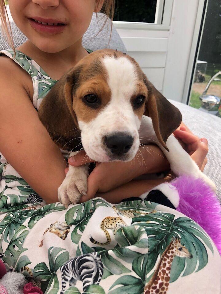 Beagle, hvalpe, 10 uger
