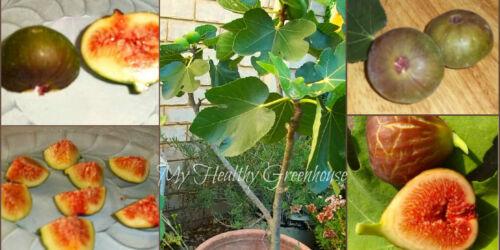 "Very Hardy Productive Brown Turkey Fig ""Ficus Carica"" Self-Fertile SEEDS"