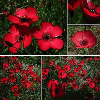 Roter Lein • 200+ Samen/seeds •Linum grandiflorum rubrum•Prachtlein•Scarlet Flax