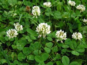 20-000-Samen-Trifolium-repens-Weissklee-Weiss-Klee-Saeurearme-Sorte