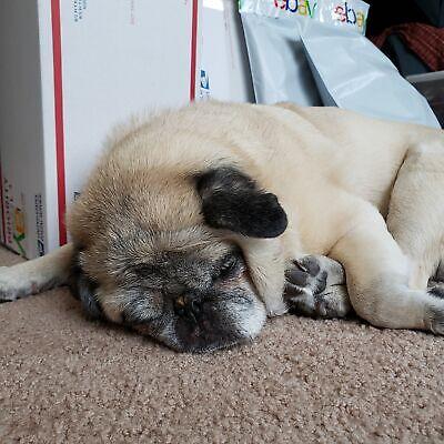 The Snoring Pug
