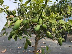 Pianta di limone caviale rosso giallo vaso 20 agrumi di for Pianta limone 4 stagioni