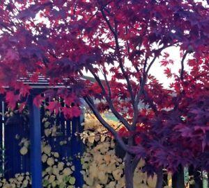 Acer Palmatum Bloodgood 1 Ltr Pot 899 Approx 30cm Summer Autumn