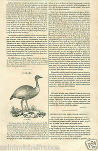 l-039-Agami-Pale-winged-trumpeter-Bird-South-America-Bolivia-GRAVURE-OLD-PRINT-1833
