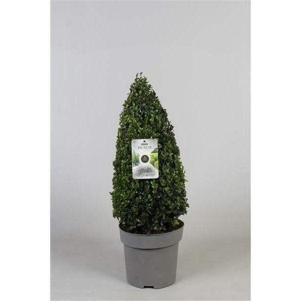Buchsbaum Pyramide - Kegel 70 cm Buxus sempervirens