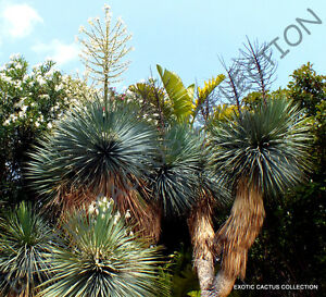 Details about RARE YUCCA RIGIDA @ blue yuca exotic agave garden desert tree  like seed 15 SEEDS