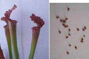 Semi 10 di incrocio di Sarracenia leucophylla guida
