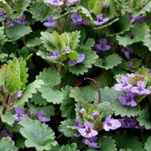 25 Seeds BOGO 50/% off SALE Glechoma Hederacea Ground Ivy-