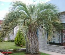 10x Palmen Samen Butia yatay (Yatay Palme) Winterhart -12°C