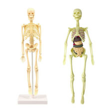 Human Skeleton Model Realistic Body Anatomy For Learning Science Teaching