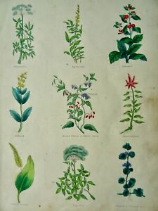 The Complete Herbal PLATE 1 Botanical illustration by Nicholas Culpeper c1850