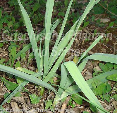 Wilder Knoblauch  Indianer Knoblauch 15 Brutzwiebeln ** allium canadense