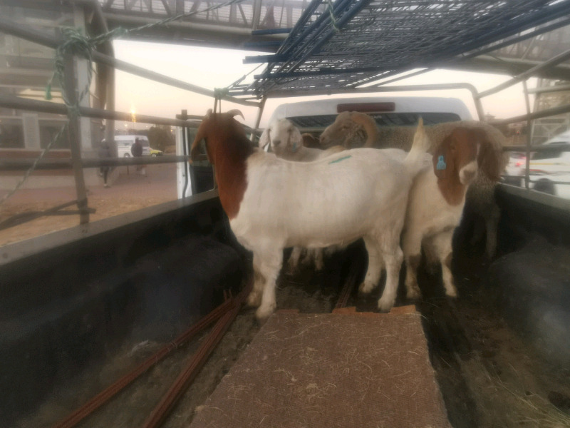 Goats and sheep for sale