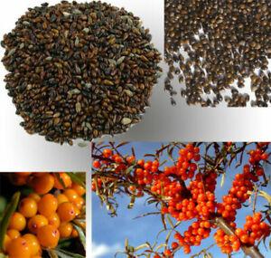 Organic-non-GMO-Sea-Buckthorn-Hippophae-rhamnoides-Seeds-20pcs