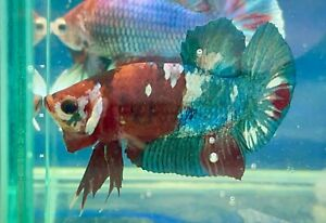 live betta fish male Giant Red Galaxy (read Terms Before Buy)