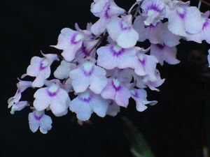 Rare-orchid-species-Bloom-Ionopsis-Utricularioides-unique