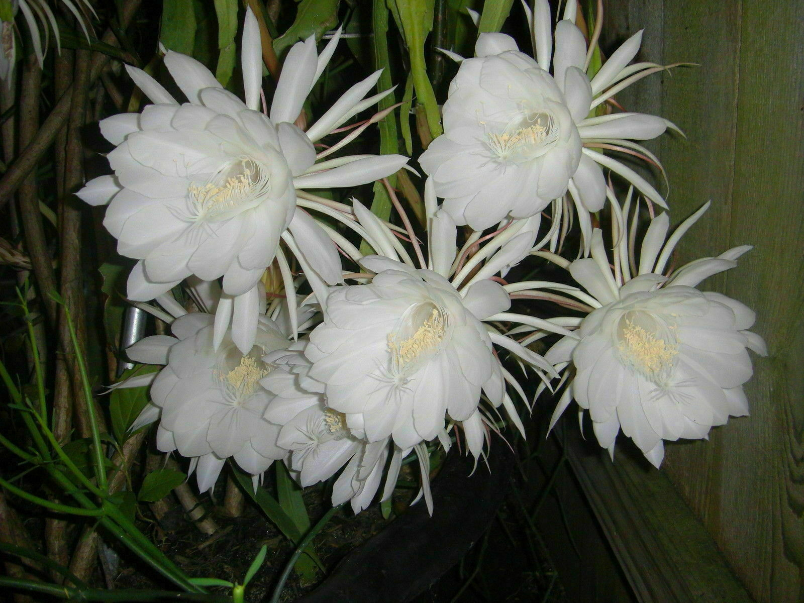 3 Plants Night Blooming Cereus Epiphyllum Oxypetalum Cactus