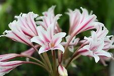 Crinum Lily, Herbertii 'Fireworks Finale', medium-size bulb